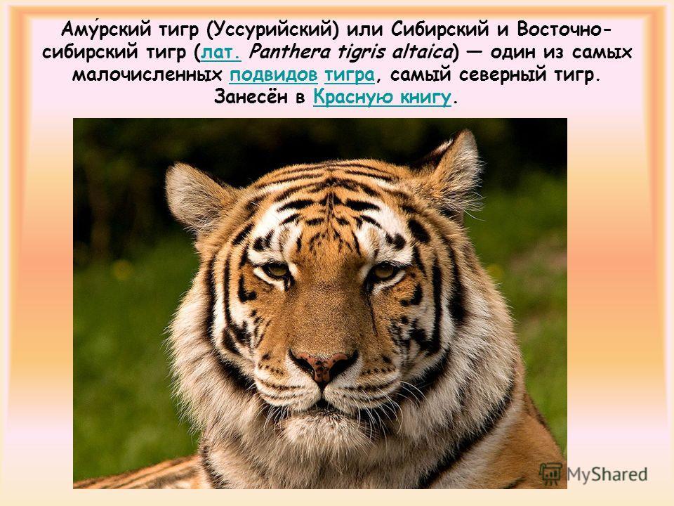 Амурский тигр (Уссурийский) или Сибирский и Восточно- сибирский тигр (лат. Panthera tigris altaica) один из самых малочисленных подвидов тигра, самый северный тигр. Занесён в Красную книгу.лат.подвидовтиграКрасную книгу