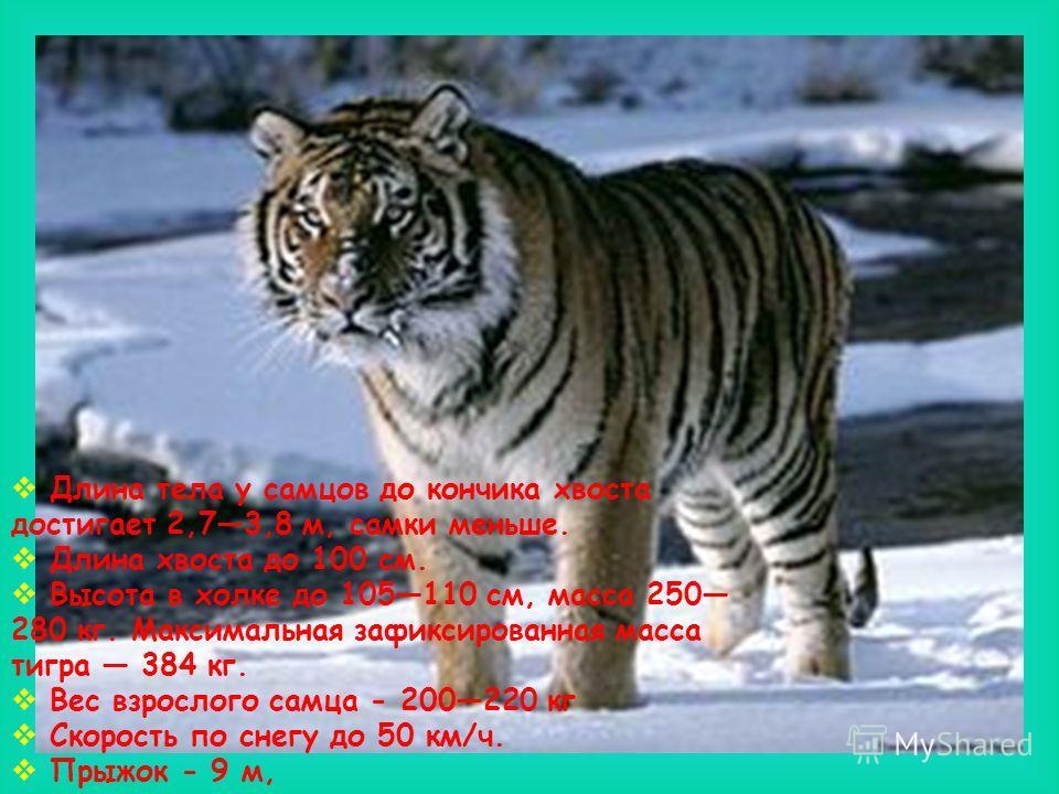 Длина тела у самцов до кончика хвоста достигает 2,73,8 м, самки меньше. Длина хвоста до 100 см. Высота в холке до 105110 см, масса 250 280 кг. Максимальная зафиксированная масса тигра 384 кг. Вес взрослого самца - 200220 кг Скорость по снегу до 50 км