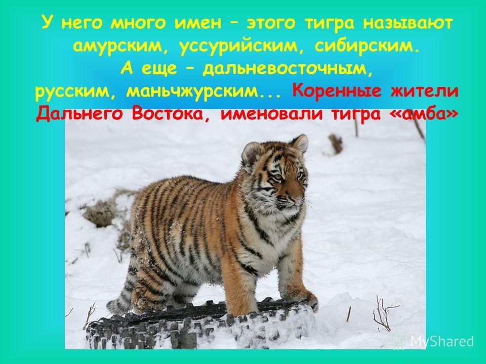 У него много имен – этого тигра называют амурским, уссурийским, сибирским. А еще – дальневосточным, русским, маньчжурским... Коренные жители Дальнего Востока, именовали тигра «амба»
