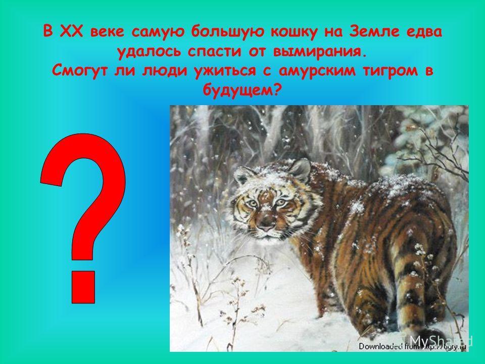 В ХХ веке самую большую кошку на Земле едва удалось спасти от вымирания. Смогут ли люди ужиться с амурским тигром в будущем?