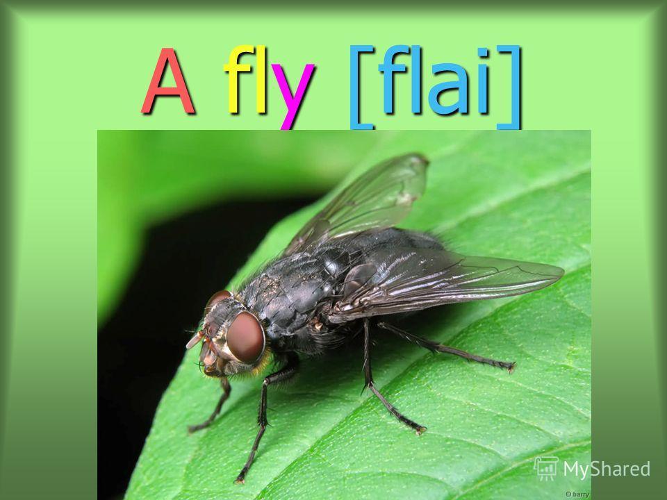 A fly [flai]