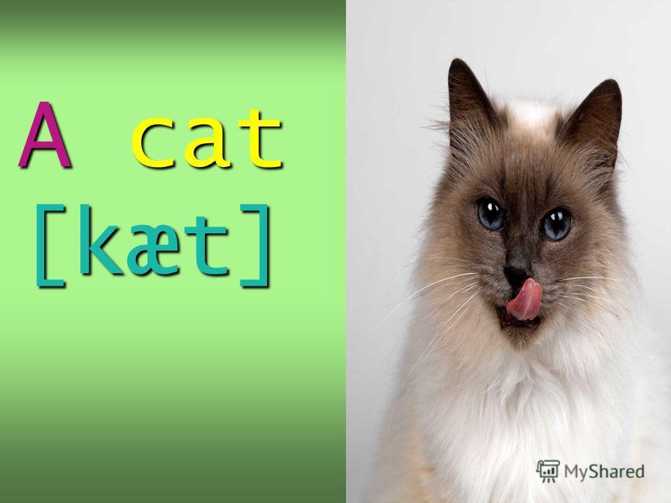 A cat [kæt]