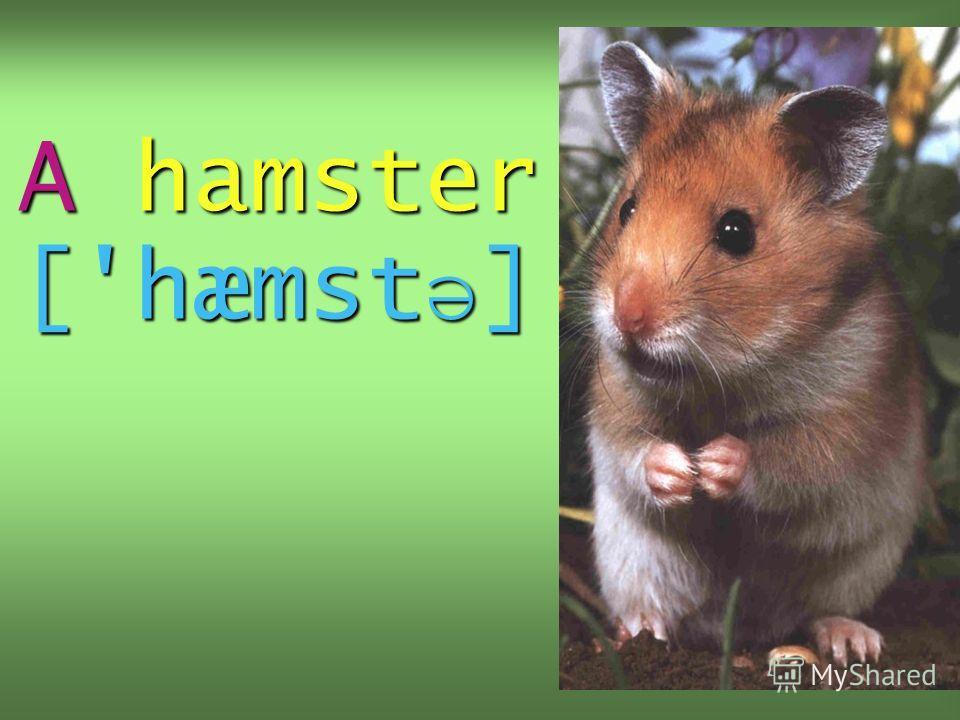 A hamster ['hæmst ə ]