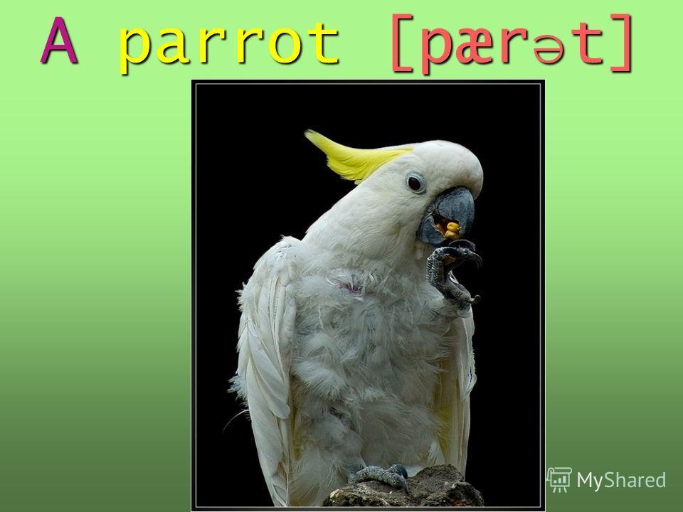 A parrot [pær ə t]