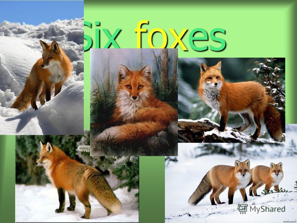 Six foxes