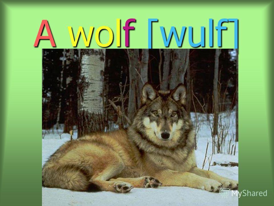 A wolf [wulf]