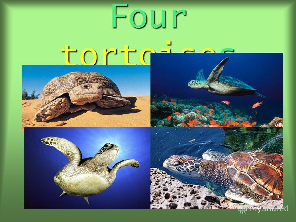 Four tortoises