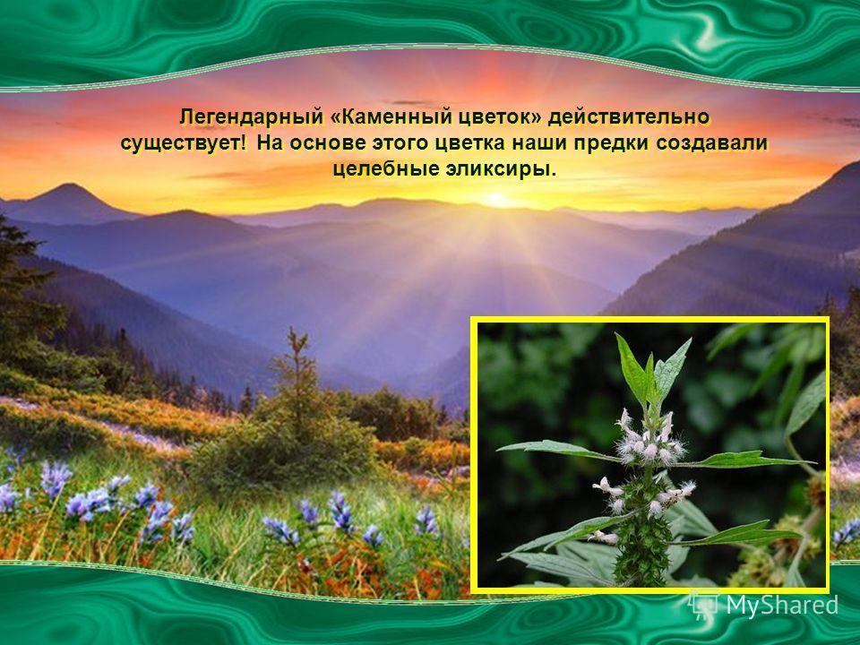 Легендарный «Каменный цветок» действительно существует! На основе этого цветка наши предки создавали целебные эликсиры.
