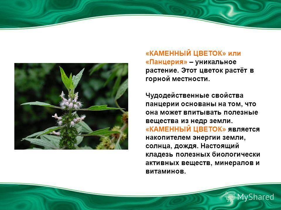 «КАМЕННЫЙ ЦВЕТОК» или «Панцерия» – уникальное растение. Этот цветок растёт в горной местности. Чудодейственные свойства панцерии основаны на том, что она может впитывать полезные вещества из недр земли. «КАМЕННЫЙ ЦВЕТОК» является накопителем энергии