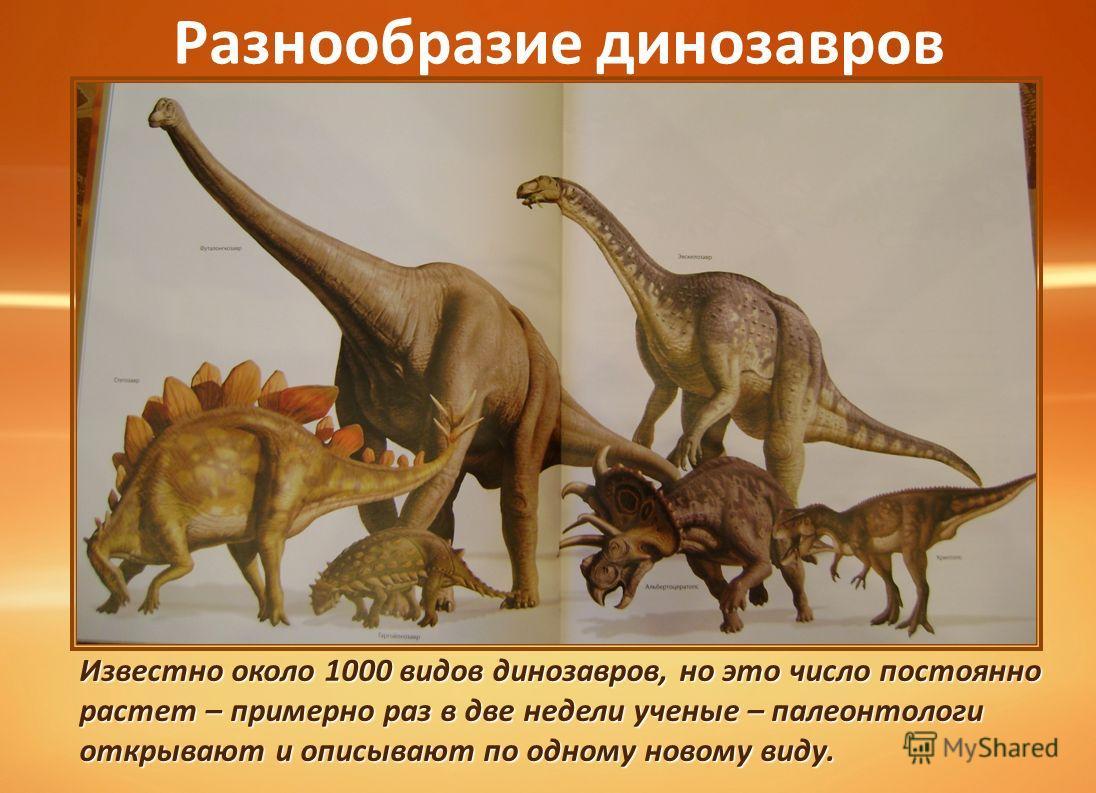 Разнообразие динозавров Известно около 1000 видов динозавров, но это число постоянно растет – примерно раз в две недели ученые – палеонтологи открывают и описывают по одному новому виду.