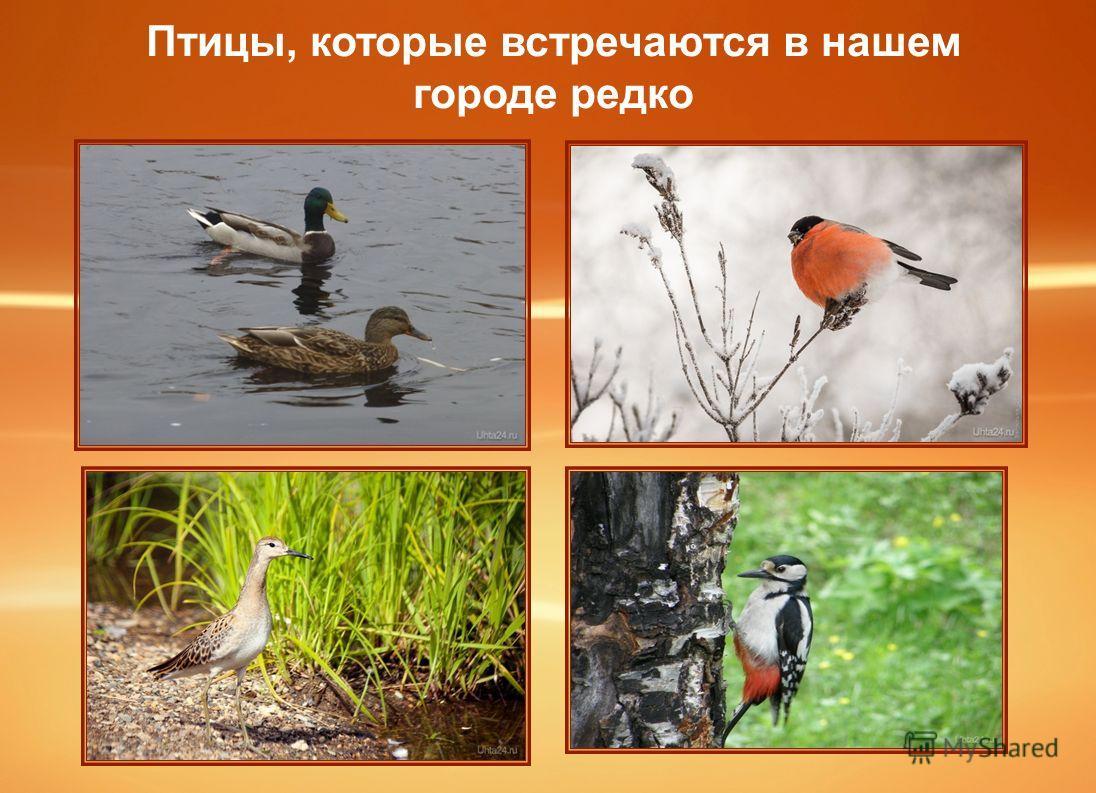 Птицы, которые встречаются в нашем городе редко