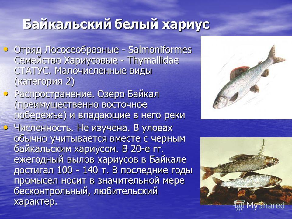 Байкальский белый хариус Отряд Лососеобразные - Salmoniformes Семейство Хариусовые - Thymallidae СТАТУС. Малочисленные виды (категория 2) Отряд Лососеобразные - Salmoniformes Семейство Хариусовые - Thymallidae СТАТУС. Малочисленные виды (категория 2)
