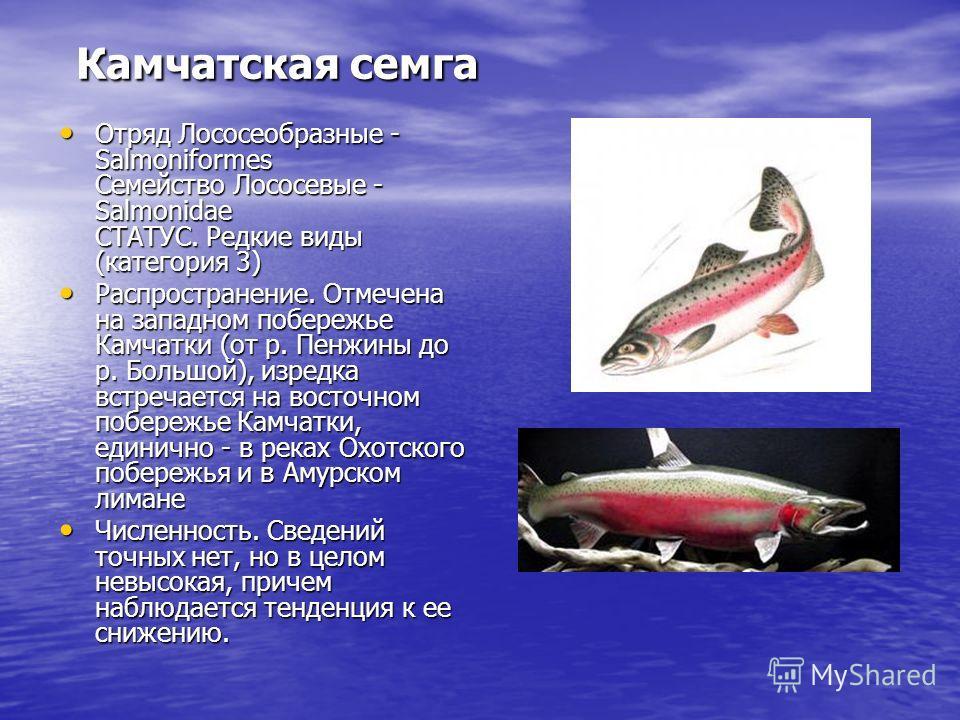 Камчатская семга Камчатская семга Отряд Лососеобразные - Salmoniformes Семейство Лососевые - Salmonidae СТАТУС. Редкие виды (категория 3) Отряд Лососеобразные - Salmoniformes Семейство Лососевые - Salmonidae СТАТУС. Редкие виды (категория 3) Распрост