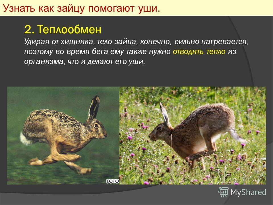 2. Теплообмен Удирая от хищника, тело зайца, конечно, сильно нагревается, поэтому во время бега ему также нужно отводить тепло из организма, что и делают его уши. Узнать как зайцу помогают уши.