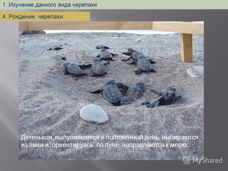 Детеныши, вылупившиеся в положенный день, выбираются из ямки и, ориентируясь по луне, направляются к морю. 1. Изучение данного вида черепахи 4. Рождение черепахи.