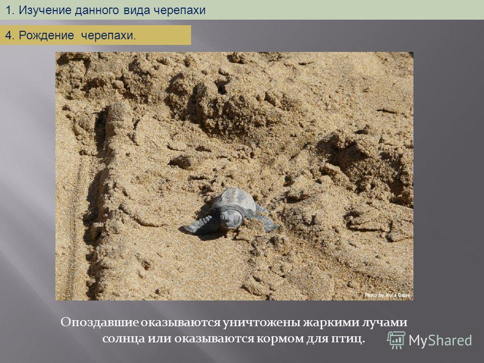 Опоздавшие оказываются уничтожены жаркими лучами солнца или оказываются кормом для птиц. 1. Изучение данного вида черепахи 4. Рождение черепахи.