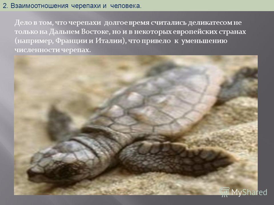 Дело в том, что черепахи долгое время считались деликатесом не только на Дальнем Востоке, но и в некоторых европейских странах (например, Франции и Италии), что привело к уменьшению численности черепах. 2. Взаимоотношения черепахи и человека.
