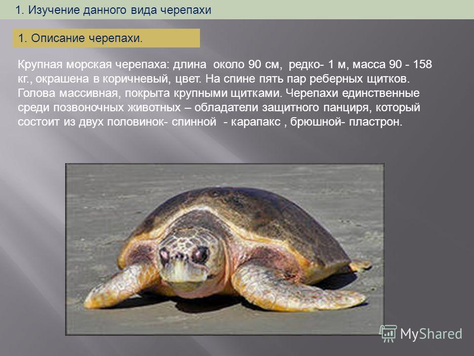 1. Изучение данного вида черепахи Крупная морская черепаха: длина около 90 см, редко- 1 м, масса 90 - 158 кг., окрашена в коричневый, цвет. На спине пять пар реберных щитков. Голова массивная, покрыта крупными щитками. Черепахи единственные среди поз