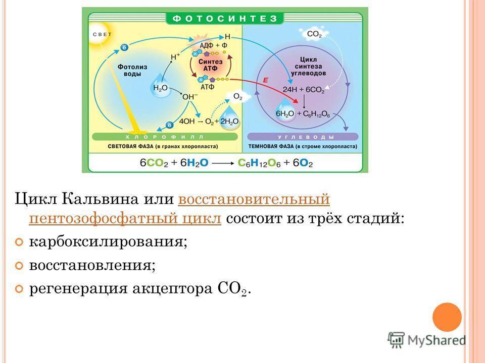 Цикл Кальвина или восстановительный пентозофосфатный цикл состоит из трёх стадий:восстановительный пентозофосфатный цикл карбоксилирования; восстановления; регенерация акцептора CO 2.