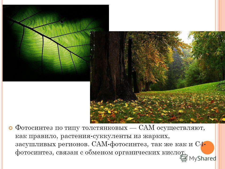 Фотосинтез по типу толстянковых САМ осуществляют, как правило, растения-суккуленты из жарких, засушливых регионов. САМ-фотосинтез, так же как и С4- фотосинтез, связан с обменом органических кислот.