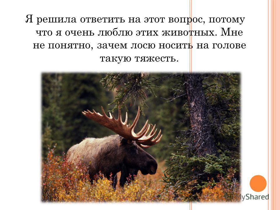 Я решила ответить на этот вопрос, потому что я очень люблю этих животных. Мне не понятно, зачем лосю носить на голове такую тяжесть.
