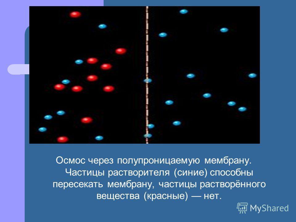 Осмос через полупроницаемую мембрану. Частицы растворителя (синие) способны пересекать мембрану, частицы растворённого вещества (красные) нет.