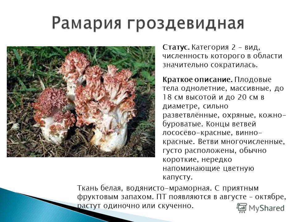 Статус. Категория 2 – вид, численность которого в области значительно сократилась. Краткое описание. Плодовые тела однолетние, массивные, до 18 см высотой и до 20 см в диаметре, сильно разветвлённые, охряные, кожно- буроватые. Концы ветвей лососёво-к