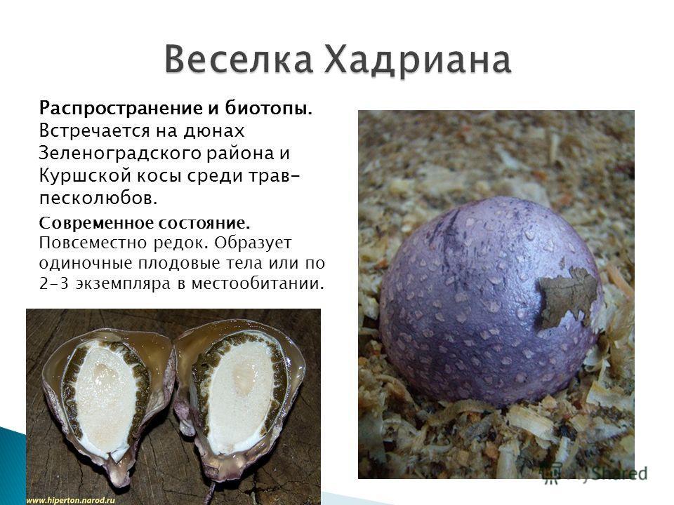 Распространение и биотопы. Встречается на дюнах Зеленоградского района и Куршской косы среди трав- песколюбов. Современное состояние. Повсеместно редок. Образует одиночные плодовые тела или по 2-3 экземпляра в местообитании.