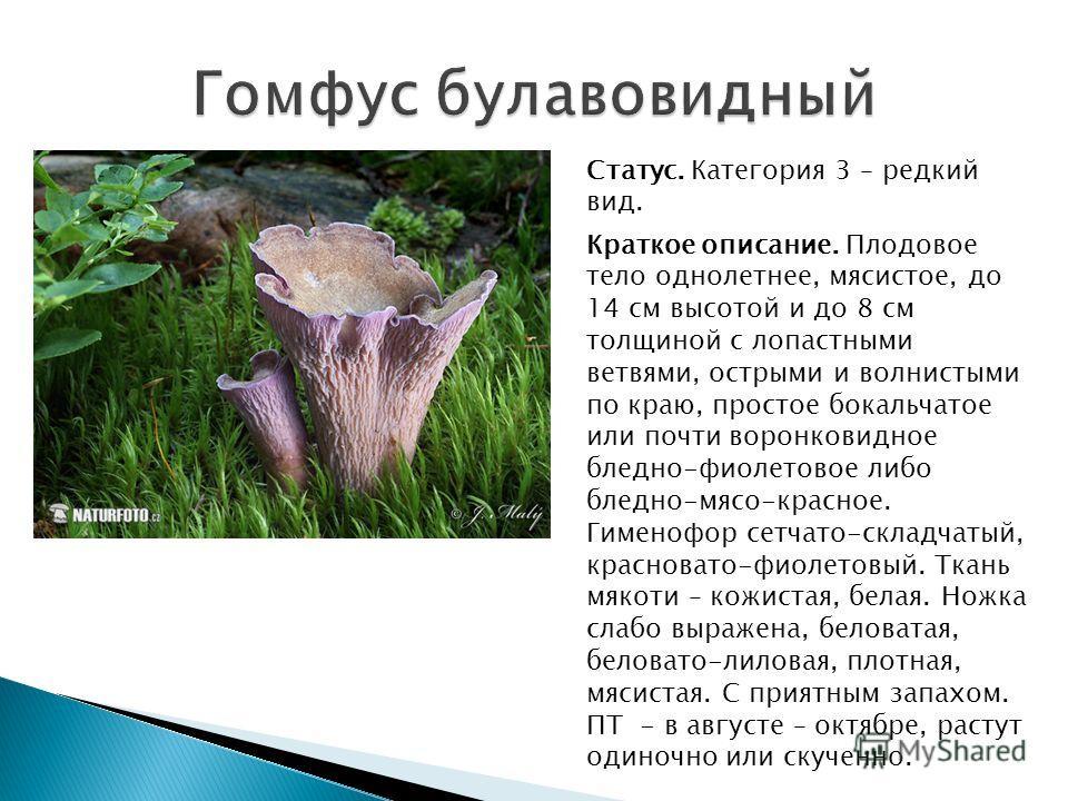 Статус. Категория 3 – редкий вид. Краткое описание. Плодовое тело однолетнее, мясистое, до 14 см высотой и до 8 см толщиной с лопастными ветвями, острыми и волнистыми по краю, простое бокальчатое или почти воронковидное бледно-фиолетовое либо бледно-