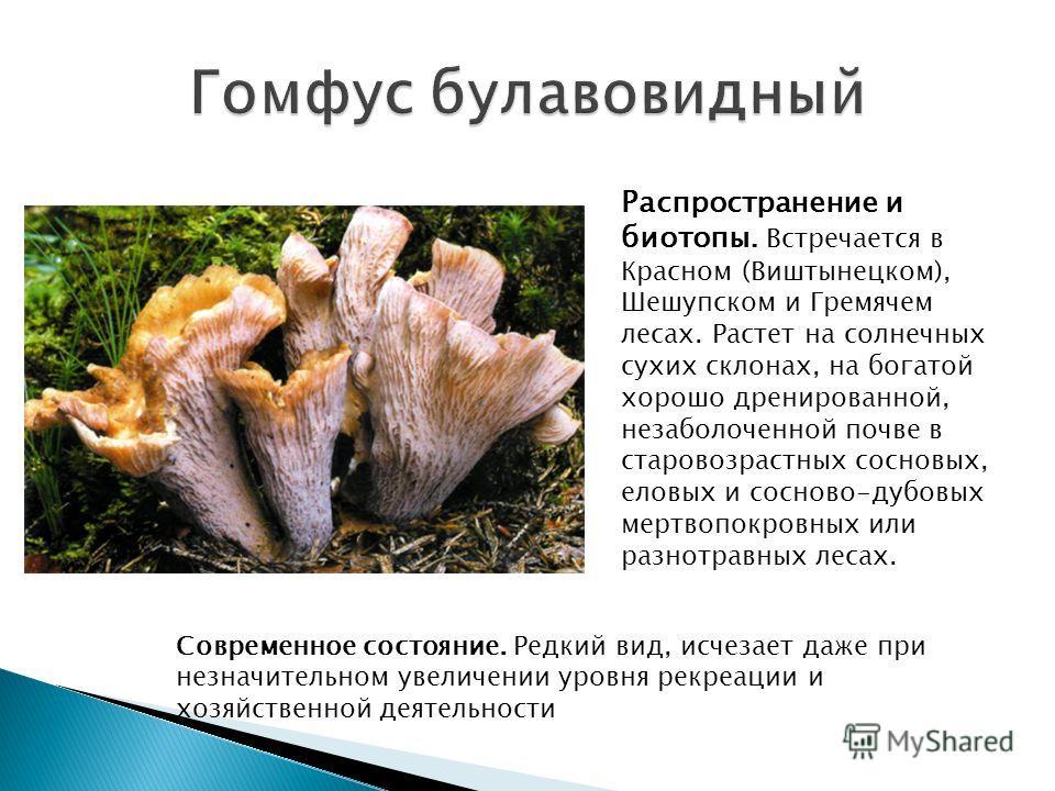 Распространение и биотопы. Встречается в Красном (Виштынецком), Шешупском и Гремячем лесах. Растет на солнечных сухих склонах, на богатой хорошо дренированной, незаболоченной почве в старовозрастных сосновых, еловых и сосново-дубовых мертвопокровных