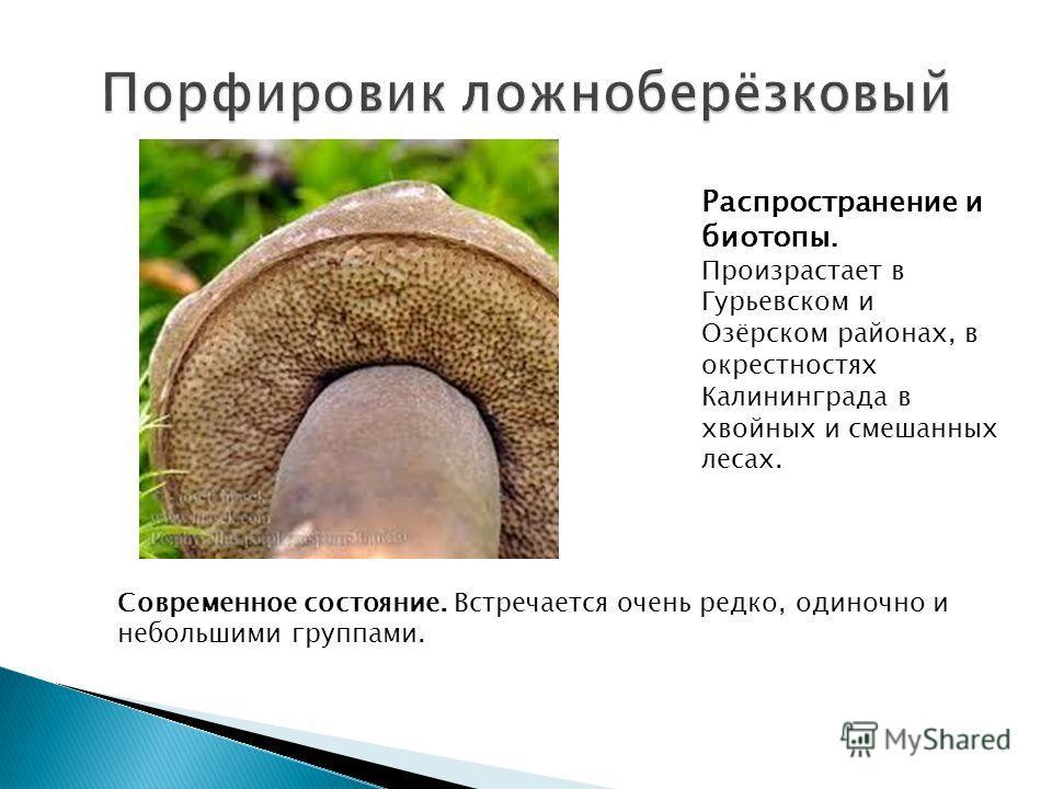 Распространение и биотопы. Произрастает в Гурьевском и Озёрском районах, в окрестностях Калининграда в хвойных и смешанных лесах. Современное состояние. Встречается очень редко, одиночно и небольшими группами.