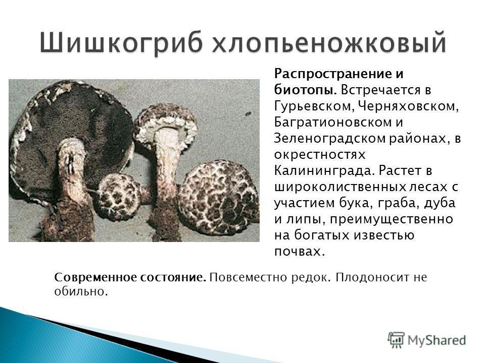 Распространение и биотопы. Встречается в Гурьевском, Черняховском, Багратионовском и Зеленоградском районах, в окрестностях Калининграда. Растет в широколиственных лесах с участием бука, граба, дуба и липы, преимущественно на богатых известью почвах.