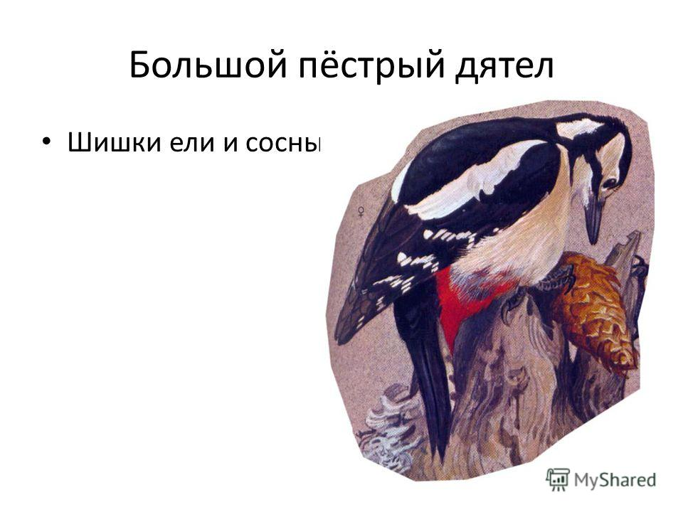 Большой пёстрый дятел Шишки ели и сосны