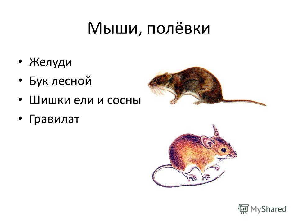 Мыши, полёвки Желуди Бук лесной Шишки ели и сосны Гравилат