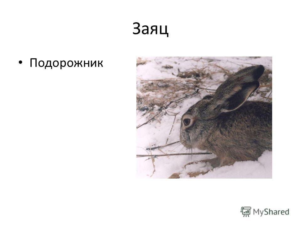 Заяц Подорожник