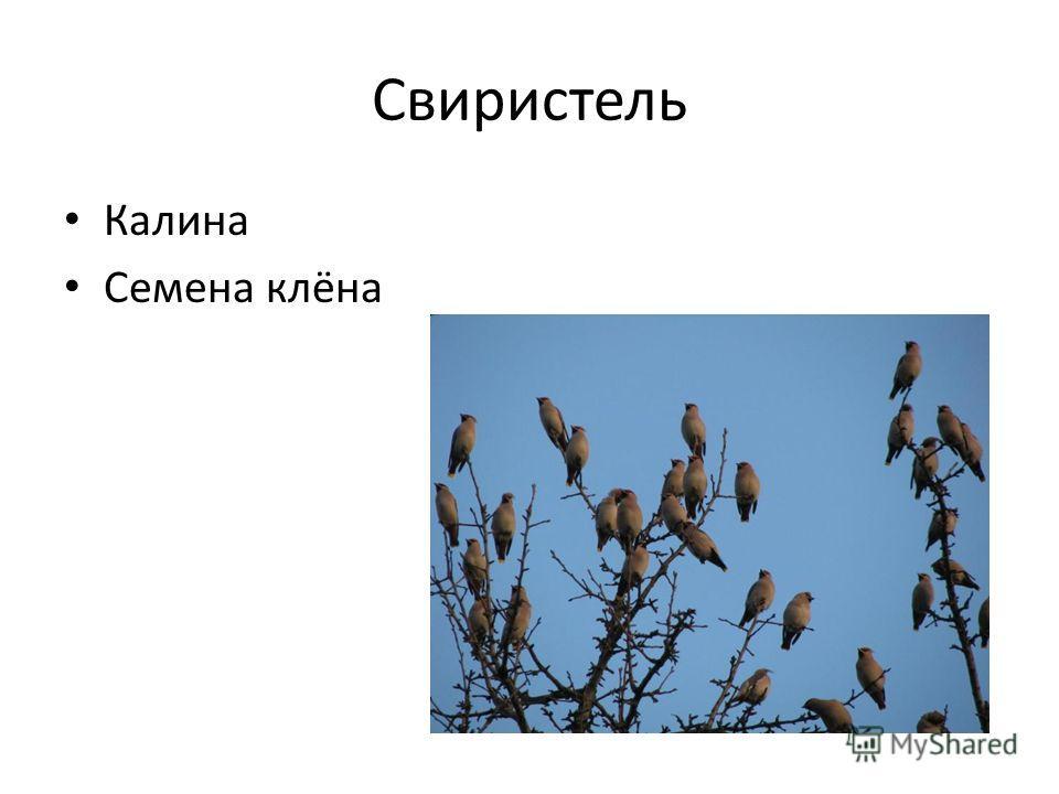 Свиристель Калина Семена клёна