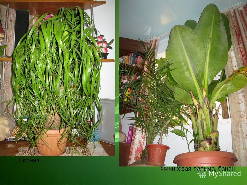 Нолина Финиковая пальма, банан