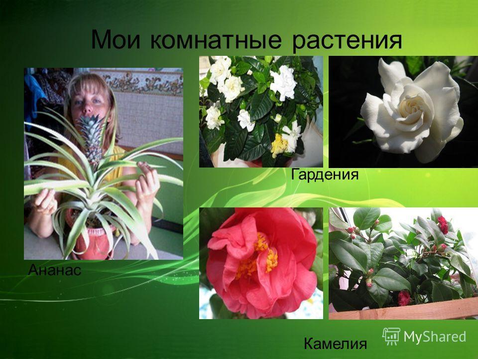 Мои комнатные растения Ананас Гардения Камелия