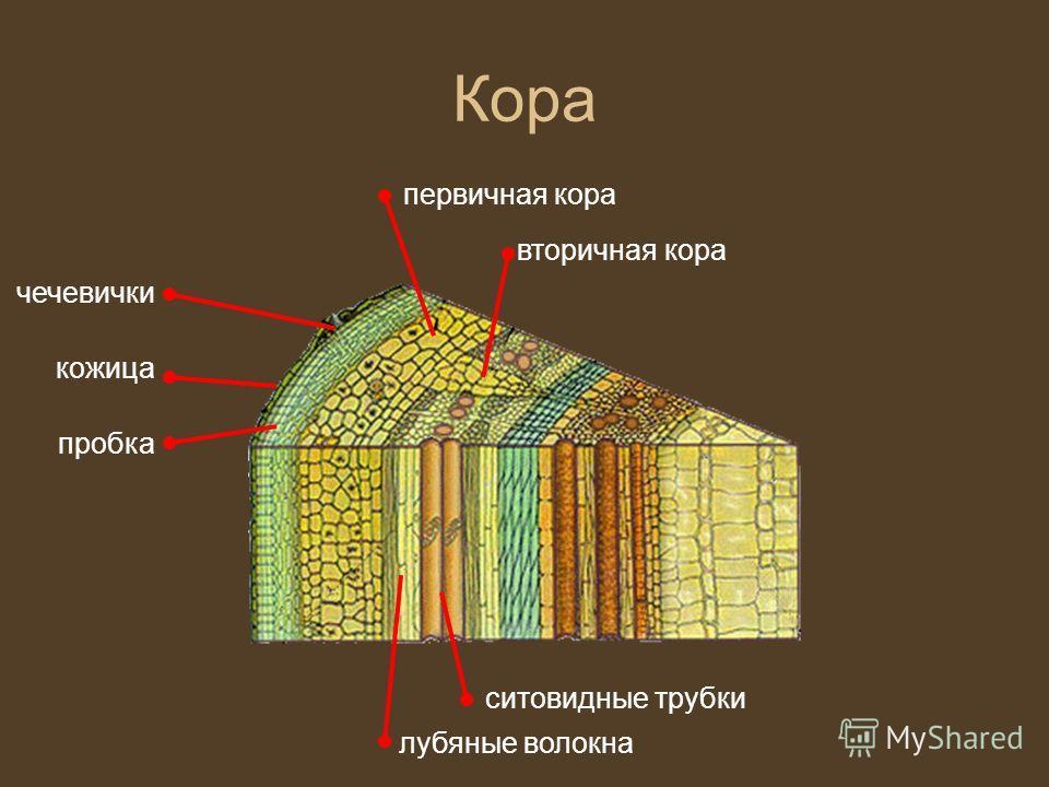 Кора кожица чечевички пробка первичная кора вторичная кора лубяные волокна ситовидные трубки