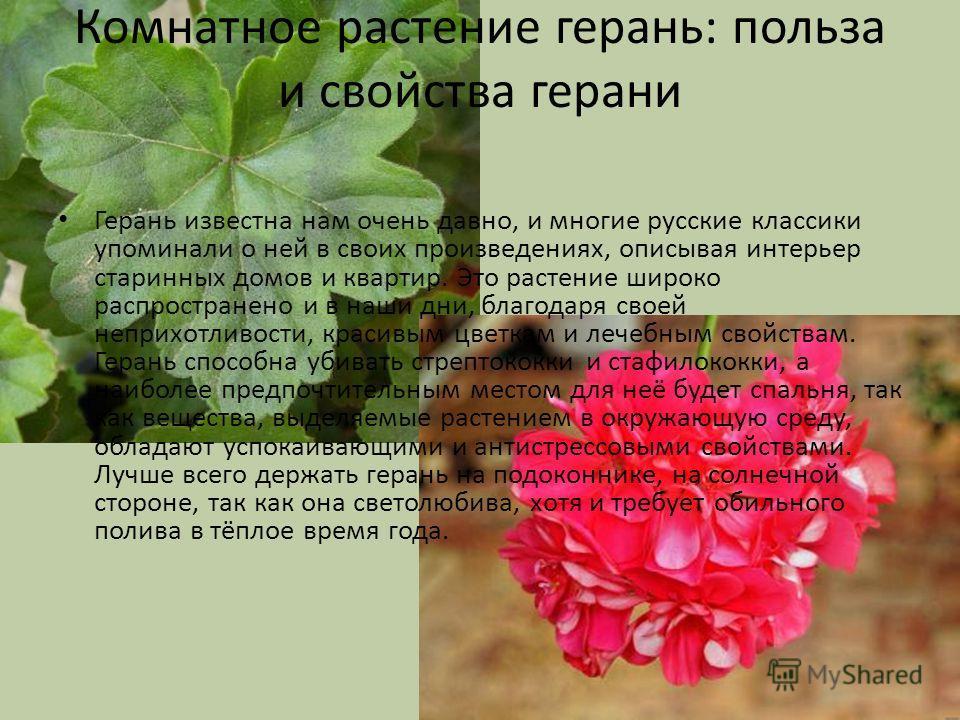 Комнатное растение герань: польза и свойства герани Герань известна нам очень давно, и многие русские классики упоминали о ней в своих произведениях, описывая интерьер старинных домов и квартир. Это растение широко распространено и в наши дни, благод