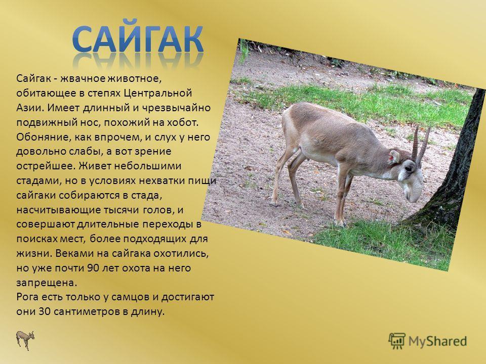 Сайгак - жвачное животное, обитающее в степях Центральной Азии. Имеет длинный и чрезвычайно подвижный нос, похожий на хобот. Обоняние, как впрочем, и слух у него довольно слабы, а вот зрение острейшее. Живет небольшими стадами, но в условиях нехватки
