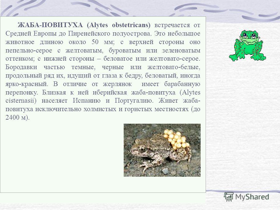 ЖАБА-ПОВИТУХА (Alytes obstetricans) встречается от Средней Европы до Пиренейского полуострова. Это небольшое животное длиною около 50 мм; с верхней стороны оно пепельно-серое с желтоватым, буроватым или зеленоватым оттенком; с нижней стороны – белова
