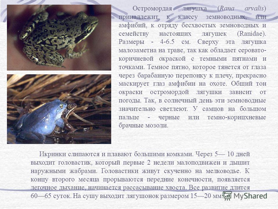 Остромордая лягушка (Rana arvalis) принадлежит к классу земноводных, или амфибий, к отряду бесхвостых земноводных и семейству настоящих лягушек (Ranidae). Размеры - 4-6.5 см. Сверху эта лягушка малозаметна на траве, так как обладает серовато- коричне