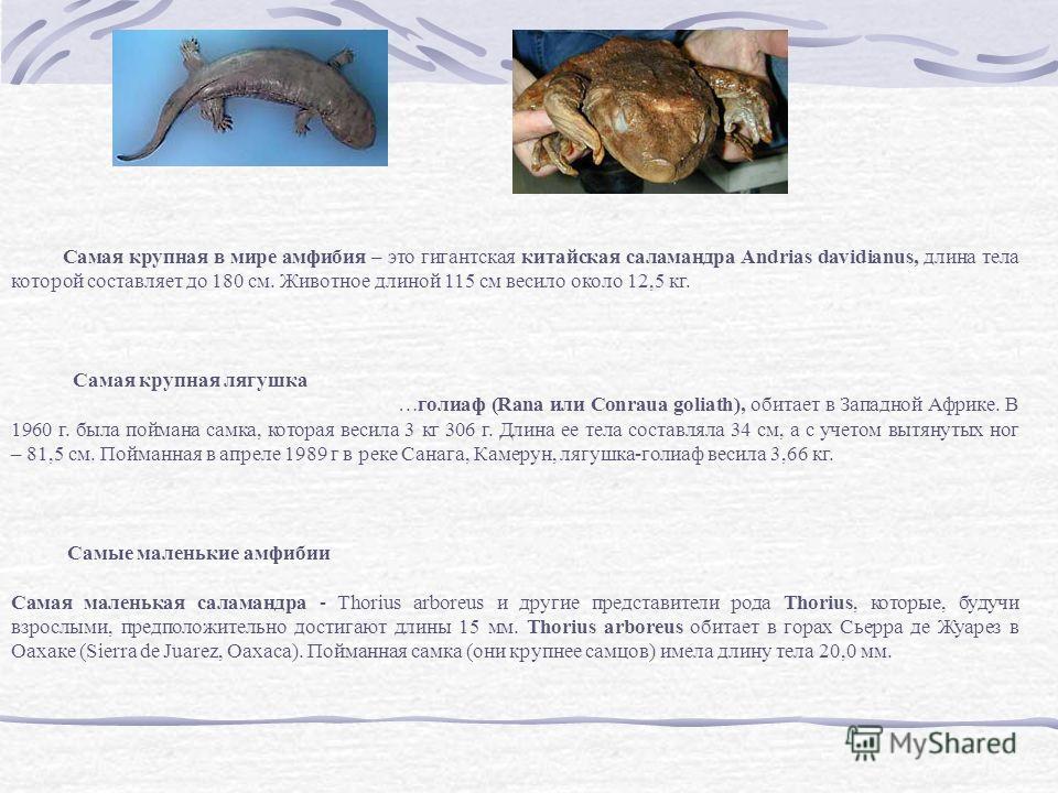 Самая крупная в мире амфибия – это гигантская китайская саламандра Andrias davidianus, длина тела которой составляет до 180 см. Животное длиной 115 см весило около 12,5 кг. Самая крупная лягушка …голиаф (Rana или Conraua goliath), обитает в Западной