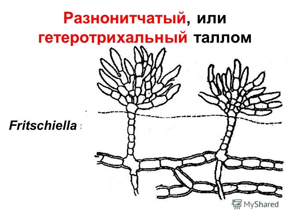 Разнонитчатый, или гетеротрихальный таллом Fritschiella sp.