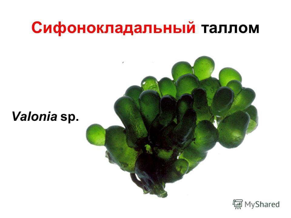 Сифонокладальный таллом Valonia sp.