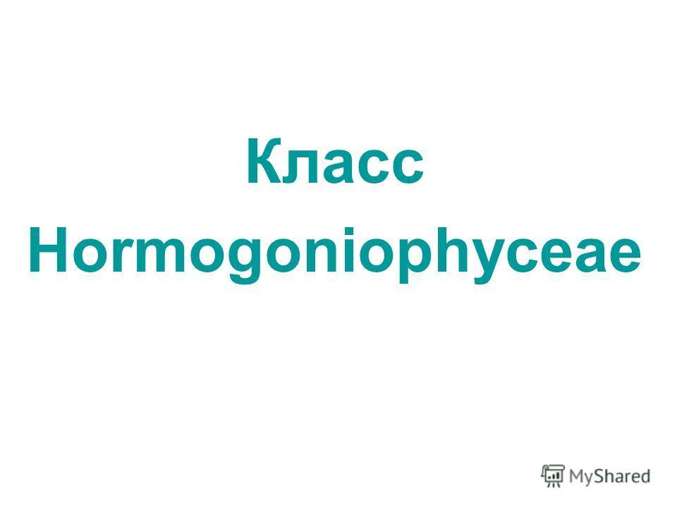 Класс Hormogoniophyceae