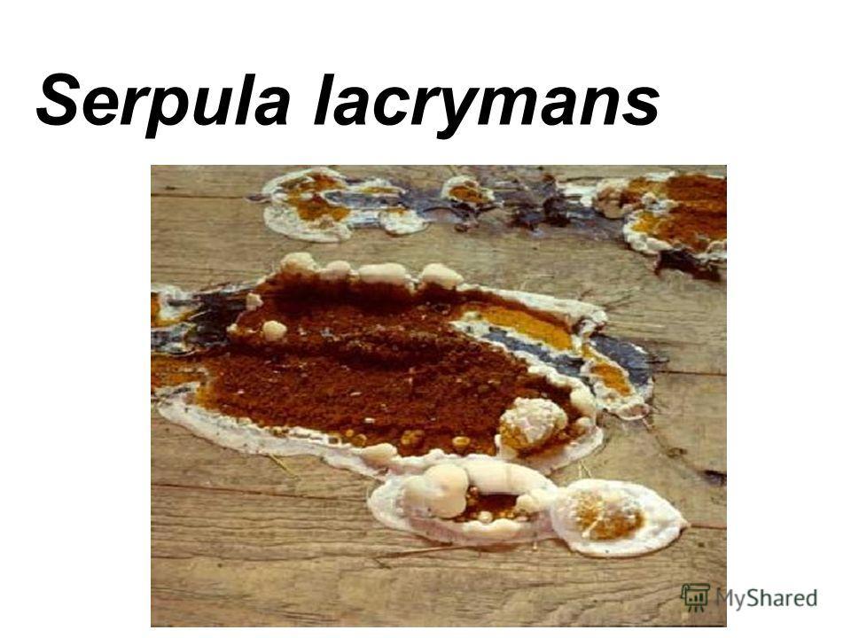 Serpula lacrymans