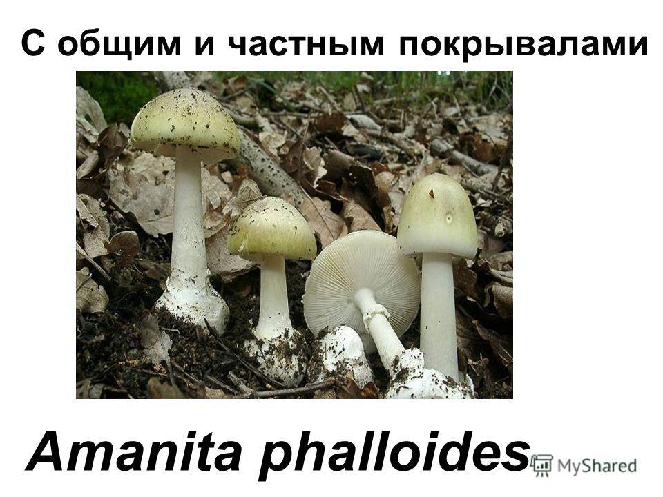С общим и частным покрывалами Amanita phalloides