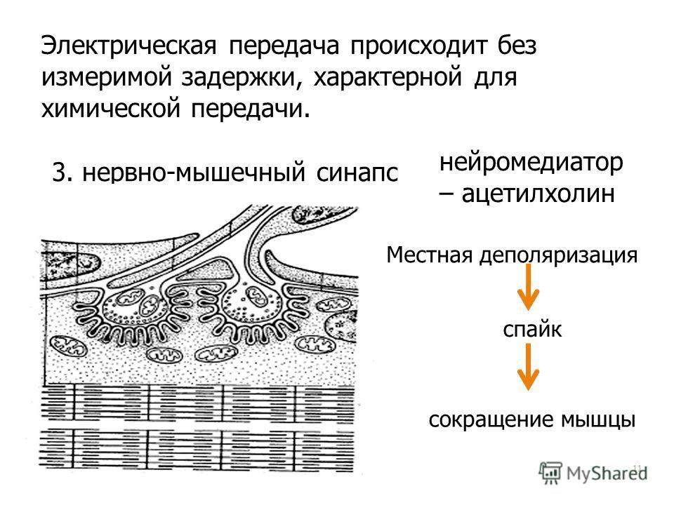 11 Электрическая передача происходит без измеримой задержки, характерной для химической передачи. 3. нервно-мышечный синапс нейромедиатор – ацетилхолин Местная деполяризация спайк сокращение мышцы
